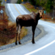 Creston Valley Insurance When You Hit an Animal While Driving